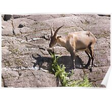 Ibex - Parc Omega Poster