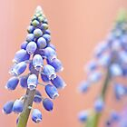 Muscari pastels by IngeHG