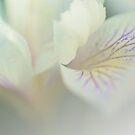 Soft Petals by Barbara  Brown