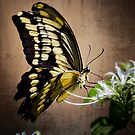 Swallowtail by Saija  Lehtonen