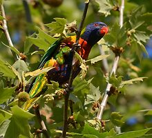 Rainbow Lorikeet - Perth, Australia by slitheenplanet