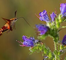 Hummingbird Clearwing Moth by Jim Cumming