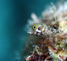 Bonaire Blenny by richard5159