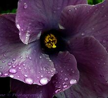Mauve Hibiscus by TeAnne