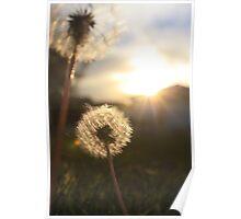 Sunset Dandelions Poster
