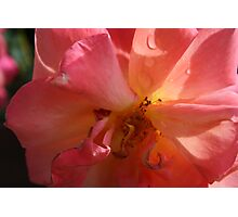 A PINK ROSE JUST FOR YOU  Photographic Print
