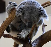 Koala-Riverbanks Zoo by tori325