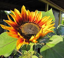 Sunflower in the evening sun by orko