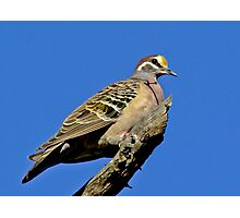 Bronzewing On High Photographic Print