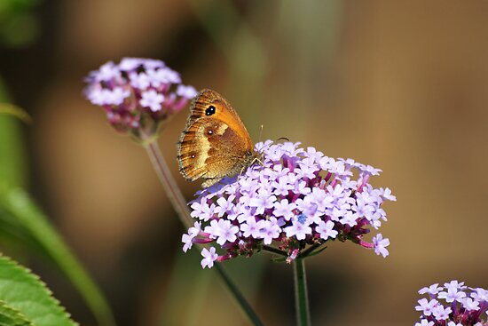 The Gatekeeper on Verbena Borienses by LorrieBee