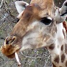 Giraffe...bone? Yep! by LivWildlife