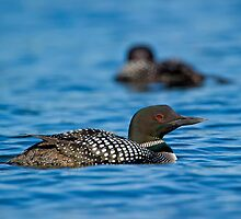 Loons by Daniel  Parent