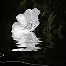 White Rose  by Elaine  Manley