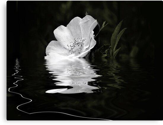 White Rose  by Elaine  Manley