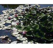 Waterlilies in the Sun - Sigurtà - Italy Photographic Print