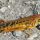 The American grasshopper by jozi1