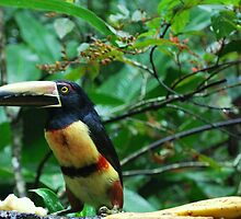 Toucans Eat Bananas? by IngramImagery