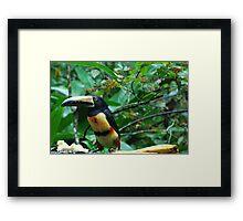 Toucans Eat Bananas? Framed Print