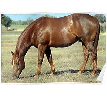 Quarter horse feeding Poster