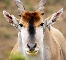 Eland Bull by Jennifer Sumpton