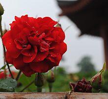 Big Wild Good Pagoda Rose III by Christopher Colletta