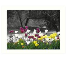 Selective Coloring Tulips Art Print