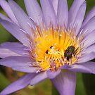 Lotus flower by Judi Corrigan