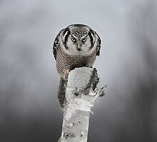 Northern Hawk-Owl by Jim Cumming