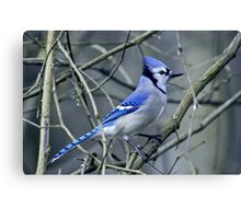 Blue Jay in the Brush Canvas Print