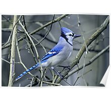 Blue Jay in the Brush Poster