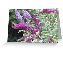 Buddleja Greeting Card
