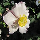 Anemone in the evening light by orko