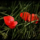 Night Poppies by Julesrules