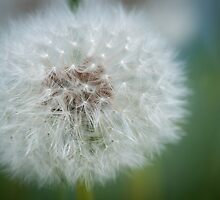 Macro Of A Dandelion Seed Head by John Hartung