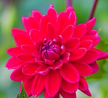Red Dahlia  by Elaine123