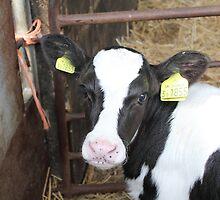 1855 freshian calf by Abigail Jennings