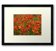 Field of orange flowers  Framed Print