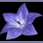 Balloon Flower by vette