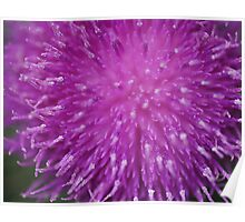 Thistle bloom upclose Poster