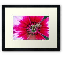 Hoverfly on a pink Petunia Framed Print