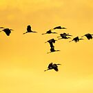 Woodstorks Flying Over The Everglades by John Hartung