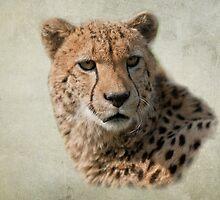 Cheetah (Acinonyx jubatus) by ©FoxfireGallery / FloorOne Photography