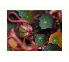Nasturtium Seed Pod Art Print