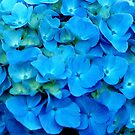 Blue Hydrangea by Kathleen Struckle