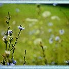 Chicory and Lace Memories by back40fotos