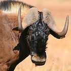 Black Wildebeest by naturalnomad