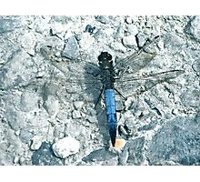 Powder Blue Dragon(fly) - Lodmoor Reserve Weymouth Photographic Print
