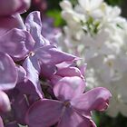 Lilacs at Noon by micala