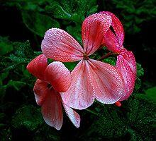 Geranium...... the dawn dew.....! by Roy  Massicks