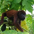 Baby Red Howler by Rob Emery